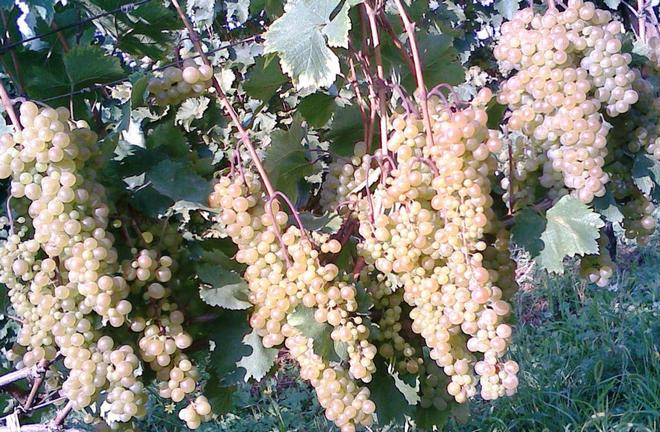 Виноград сорта Ркацители